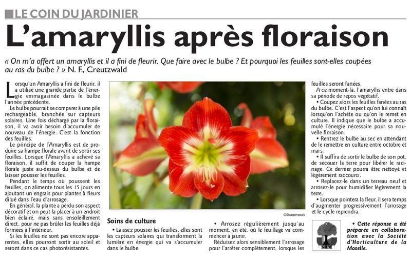 Le coin du jardinier l 39 amaryllis apr s floraison for Arrosage amaryllis floraison